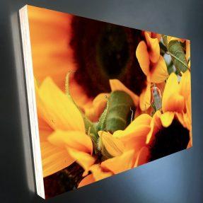Sonnenblume-Gärtnerin 30x20